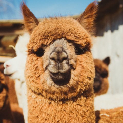 A closely grouped herd of alpaca with one alpaca in front facing the camera