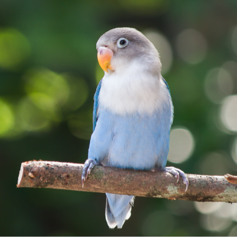 Blue lovebird standing on a tree branch in a garden on blurred background.
