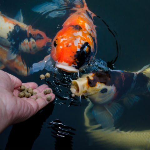 Four colorful koi fish in a pond eat fish food nuggets from a hand.