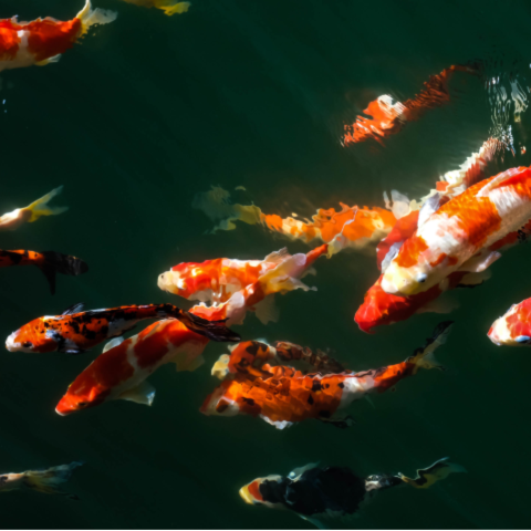 A school of beautiful orange, white and black spotted koi fish swim near the surface of their pond.