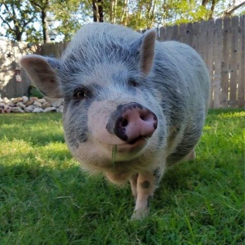 Gray and white mini pig walking in a grassy backyard.