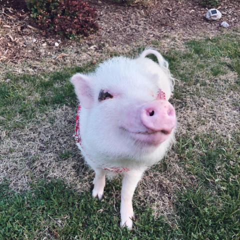 Oliver, the mini pig, looks up at the camera while standing in a grassy backyard.