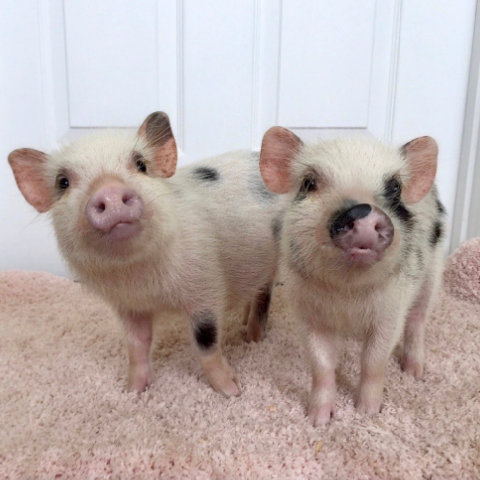 Social media mini pig sensations Prissy and Pop from Helping Hooves animal rescue farm in Florida.