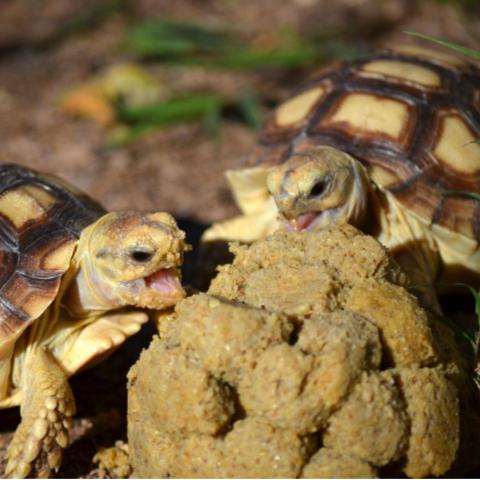Two turtles eating Mazuri feed.