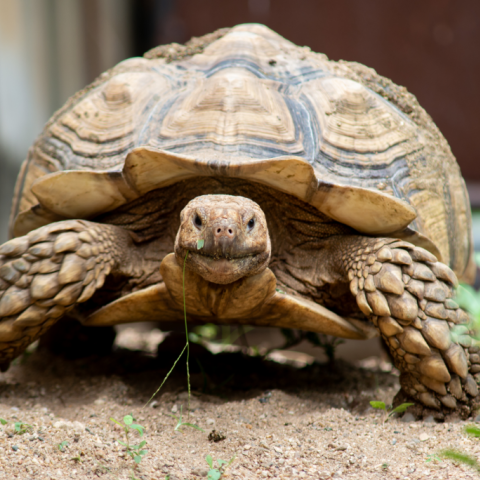 Sulcata tortoise walks on the ground toward the camera.