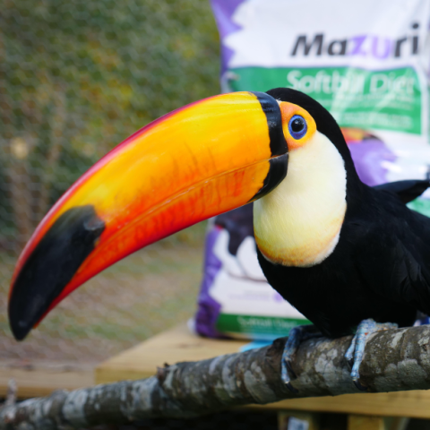 A pretty black, yellow and orange pet toco toucan perches on a branch with a bag of Mazuri Softbill Diet for Iron-Sensitive Birds in the background.