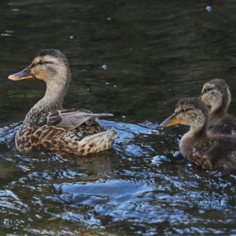 A brown-feathered mother duck swims in a pond with her three ducklings following close behind