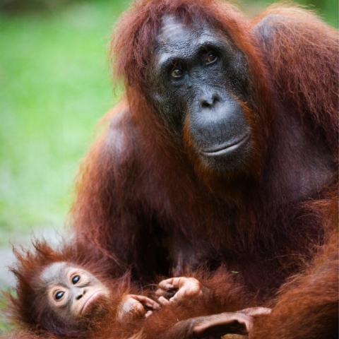 Adult orangutan holding young orangutan.