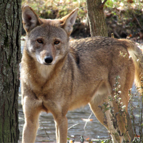 An American Red Wolf at the Endangered Wolf Center in St. Louis, Missouri.