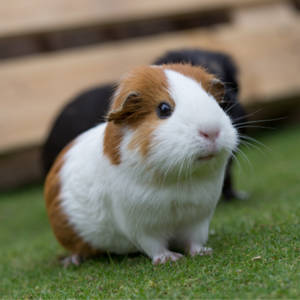 White and brown guinea sitting in the grass.