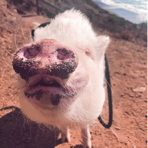 Oliver, the mini pig, with a muddy snout after rooting around in his backyard.