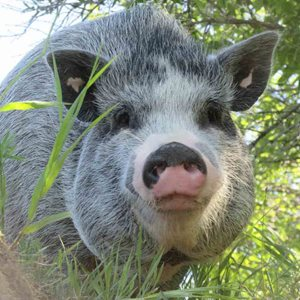 A large grey mini pig standing in green grass.
